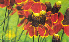 Ratibida Coneflower Mexican Hat Columnifera Midget