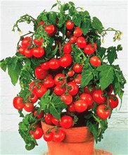Pot n Patio Cherry Tomato