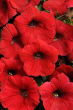 Petunia Shock Wave Red