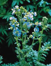 Polemonium Jacobs Ladder Caeruleum Blue Pearl