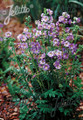 Polemonium Jacobs Ladder Boreale Heavenly Habit Perennial Seeds