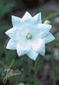 Platycodon Balloon Flower Grandiflora Hakone White Seed