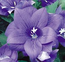 Platycodon Balloon Flower Grandiflora Double Blue