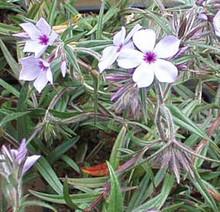 Phlox Divaricata