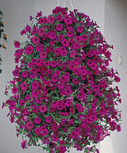 Petunia Wave Purple