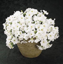 Petunia Easy Wave White