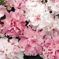 Petunia Double Cascade Orchid Mist