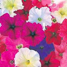 Petunia Carpet Mix