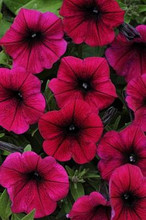Petunia Shock Wave Deep Purple