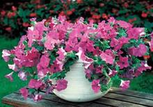 Petunia  Wave Lavender Annual