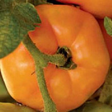 Persimmon Heirloom Tomato