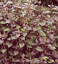 Herb Seeds - Perilla Frutescens Red