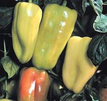 Pepper Seed - Sweet Gypsy