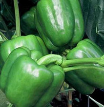 Pepper Seed - Sweet Colossal