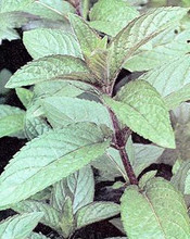 Herb Seeds - Peppermint