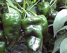 Pepper Seed - Hot Ancho San Luis