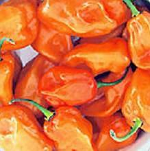 Pepper Hot Habanero Magnum Orange