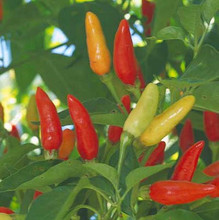Pepper Seed -  HOT - Tabasco