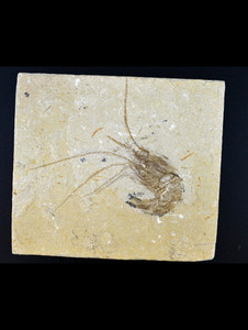Shrimp Fossil from Lebanon