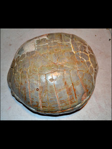 Fossil tortoise shell from Badlands, South Dakota