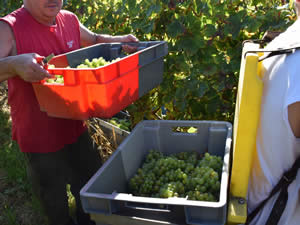 Cremant de Bordeaux has to be picked into crates, by law