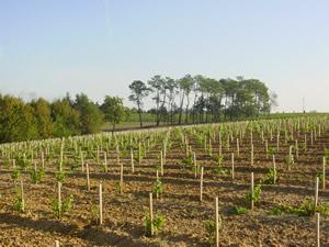 Sauvignon vines planted