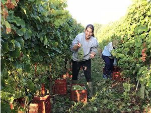 Harvest 2018 - Hand Picking Whites
