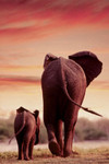 Safari - Laminated Elephant & Calf Walking Poster