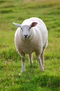 wool-lamb.jpg