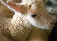 Little Lamb Photo Note Card