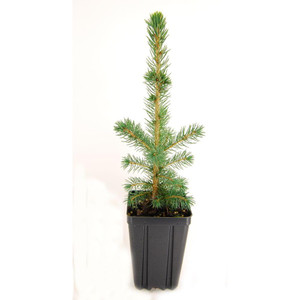 Potted Blue Spruce Tree
