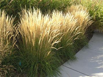Buy Karl Foerster Grass online