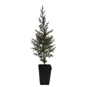 Eastern Redcedar Tree - 1 qt.
