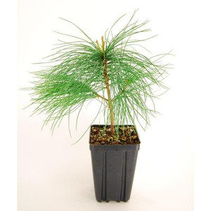 White Pine Potted Tree - 1 qt.