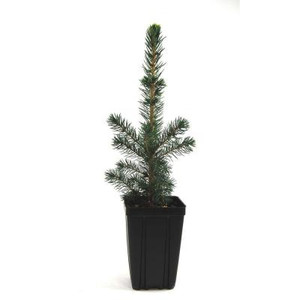 Black Hills Spruce Potted Tree - 1 qt.