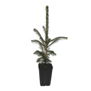 White Spruce Potted Tree - 1 qt.