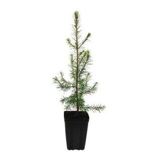 Douglas Fir Potted Tree - 1 qt.