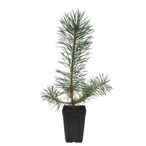 Scotch Pine Potted Tree - 1 qt.