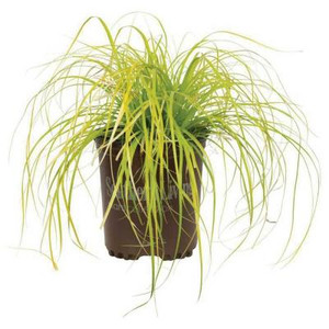 Everillo Carex Grass - Plug