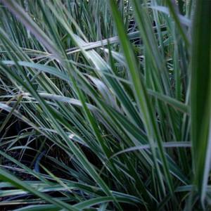Overdam Reed  Grass - Plug