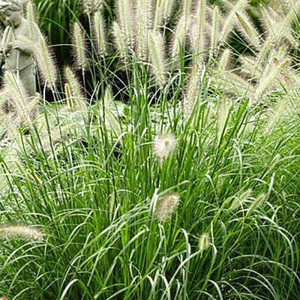 Dwarf Fountain Grass - Plug