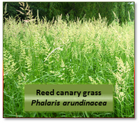 Reed canary grass (Phalaris arundinacea) -- 2H labeled 10 atom%
