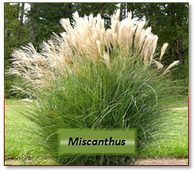 Miscanthus -- 2H labeled 10 atom%