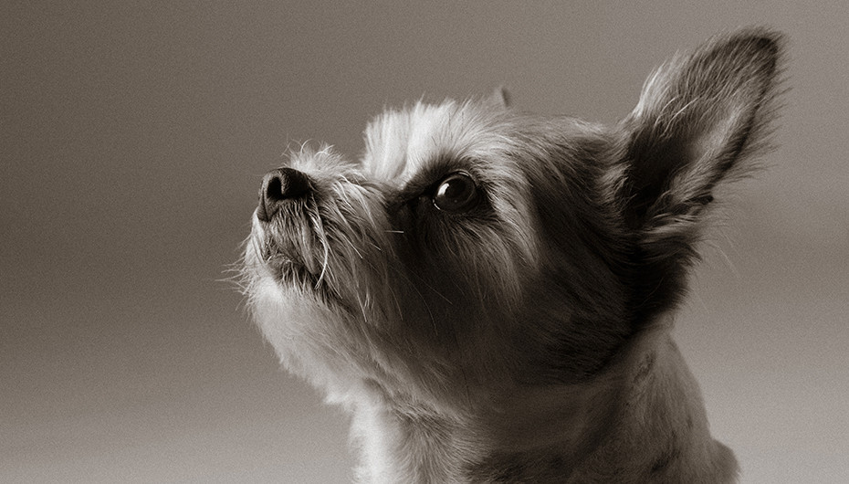 Picture of a cute small grey dog on a grey background, photographed by Emotion Studios.