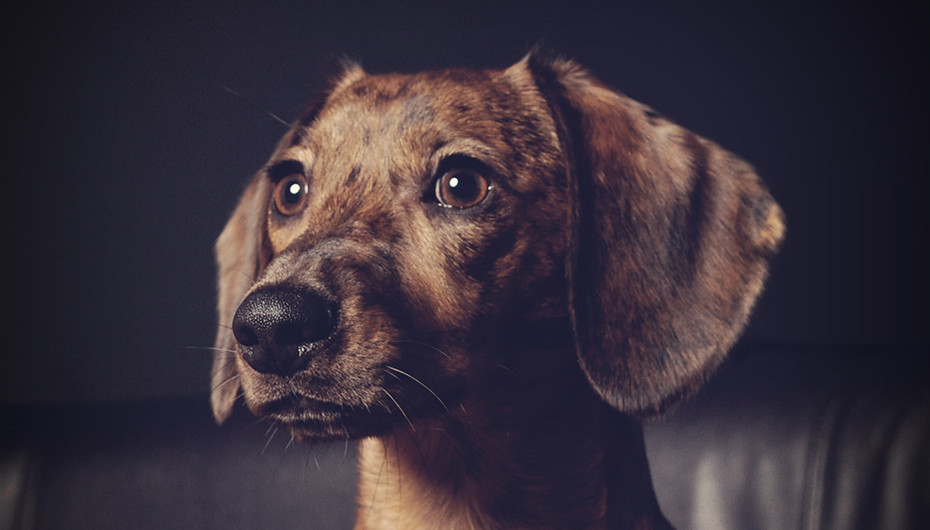 Stunning image of a small dog on a dark background. Photo by Emotion Studios.