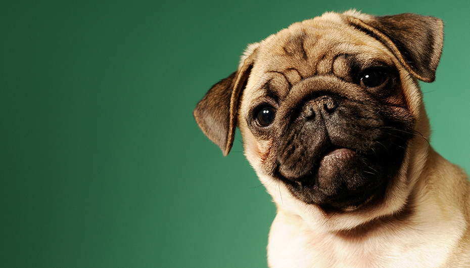 Photograph of a beautiful pug against a vivid green background. Image by Emotion Studios of Shropshire.