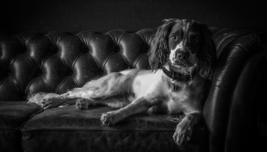 Beautiful photograph of a Springer Spaniel relaxing on a leather sofa in black and white. Photograph by Emotion Studios.