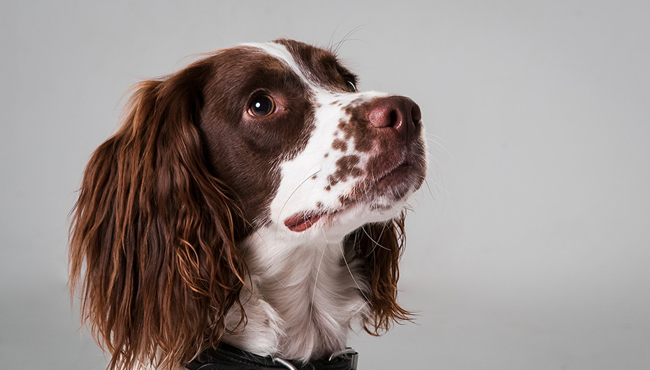 Photograph of a beautiful Springer Spaniel with a white background. Image taken by Emotion Studios of Claverley.