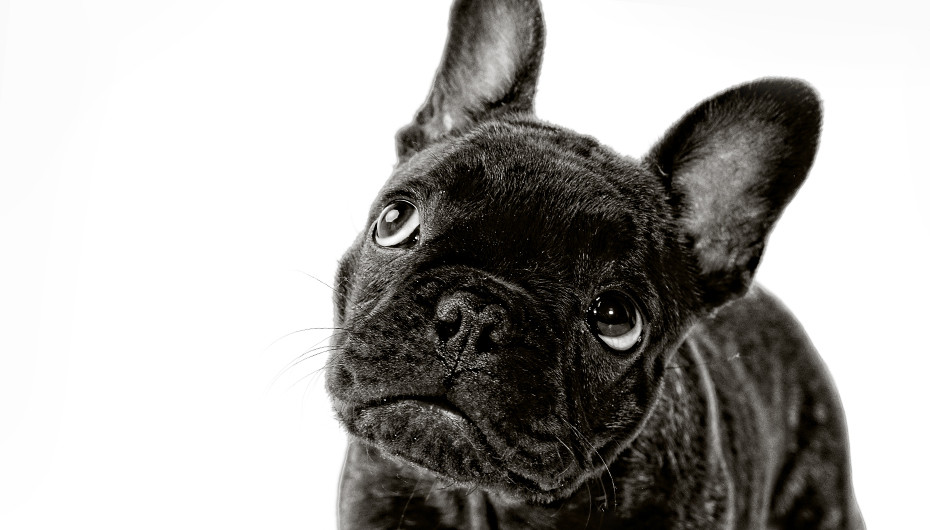 Photograph of an adorable Boston Terrier on a white background, taken by Emotion Studios of Wolverhampton