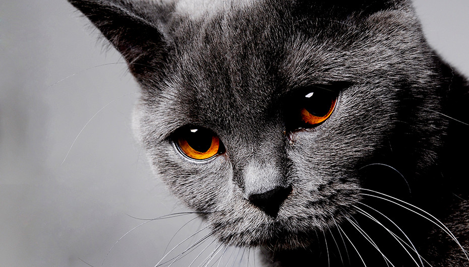 Picture of a beautiful grey cat on a light grey background. Photographed by Emotion Studios.